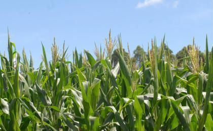 Projeto da Embrapa avalia a absorção de poluentes do lodo de esgoto pelo milho