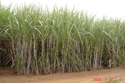 Vinhaça: resíduo do processamento da cana para a produção do etanol
