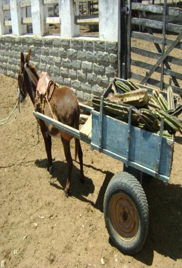 Fig.7 Transporte do mandacaru em carroça de jumento
