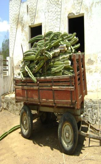 Fig.8 Transporte do mandacaru em carroça de jumento