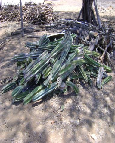 Fig. 9 Mandacaru cortado e lenha para a fogueira