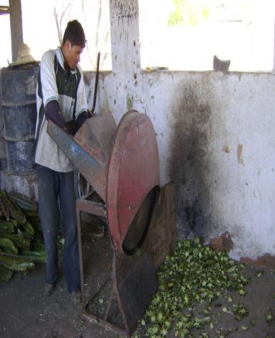 Fig. 11 Trituração do mandacaru na máquina forrageira