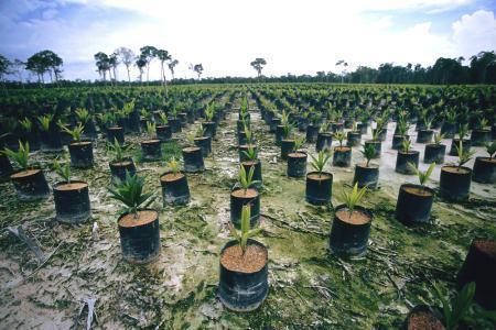 Área florestal na Indonésia em processo de conversão para produção de dendê. Foto de arquivo
