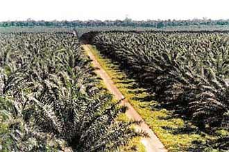 Monocultura de palma (dendê), em foto de arquivo
