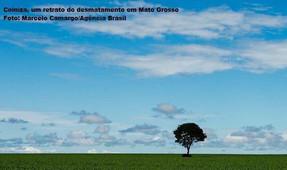 Brasnorte, MT, Brasil: Árvore em meio a plantação de soja. (Foto: Marcelo Camargo/Agência Brasil)