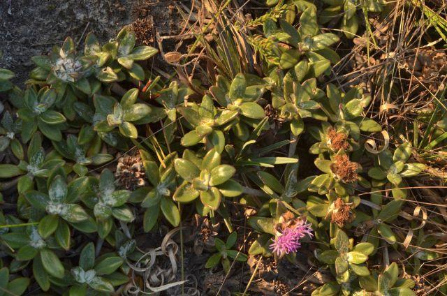 Lychnophora humillima - Foto: Fernando M. Fernandes-lpr