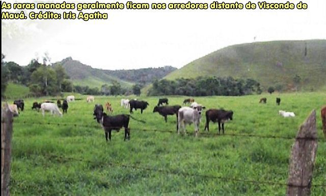 As raras manadas geralmente ficam nos arredores distante de Visconde de Mauá. Crédito: Iris Agatha