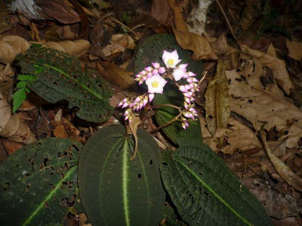 Bertolonia duasbocaensis. Foto: Renato Goldenberg