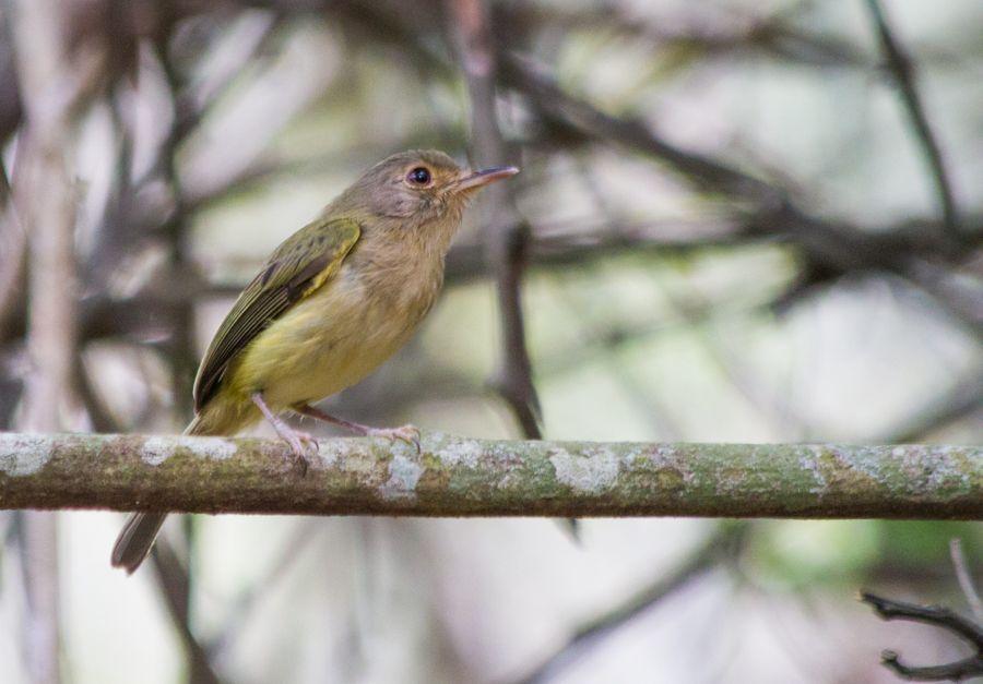 A maria-do-nordeste (Hemitriccus mirandae)