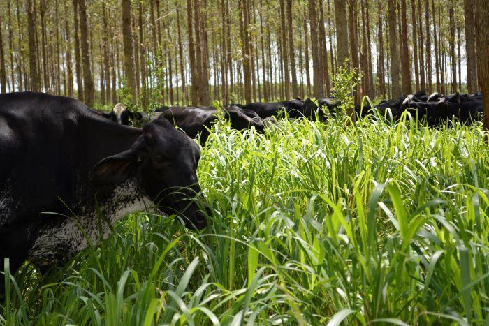 Integração da Lavoura a Pecuária e a Floresta (ILPF). Foto: Kélem Cabral
