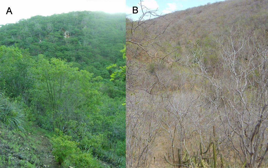 Caatinga no período chuvoso (A) e seco (B).