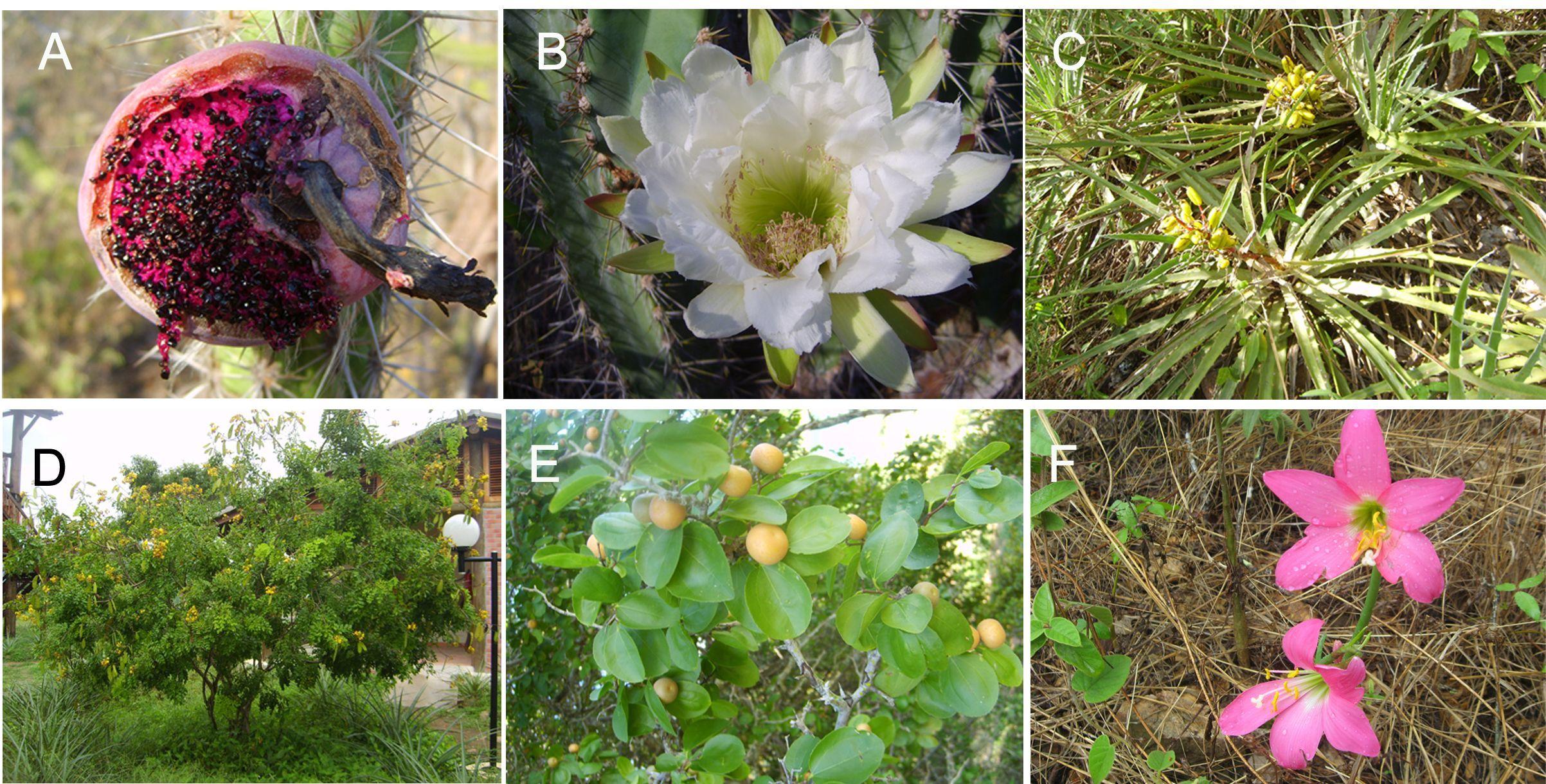 Figura 3. Plantas da Caatinga. (A) Xique-xique com fruto comestível; (B) A perfumada flor do mandacaru; (C) Moita de macambira-de-preá; (D) A famosa catingueira; (E) o juazeiro, árvore que permanece com folhas mesmo no período seco; (F) a vistosa herbácea.