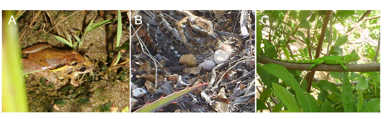 Figura 4. Alguns animais típicos da Caatinga, como as rãs (A), bacurauzinho-da-caatinga (B) e o camaleão (C).