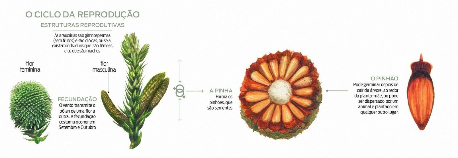Estruturas reprodutivas da araucária