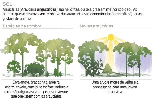 Araucaria Angustifolia, Araucaria angustifolia, araucária, botânica da araucária