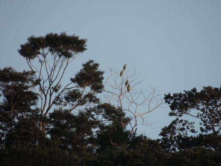 Censo registra mais de 7 mil papagaios-de-cara-roxa no litoral paranaense