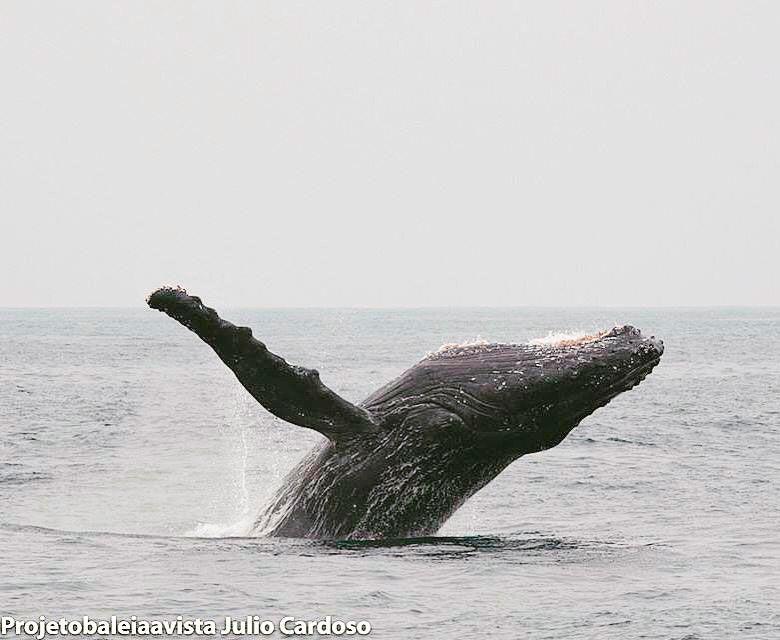 Acrobacia de baleia-jubarte, em Ilha Bela. Crédito da foto: Julio Cardoso, Projeto Baleia à Vista