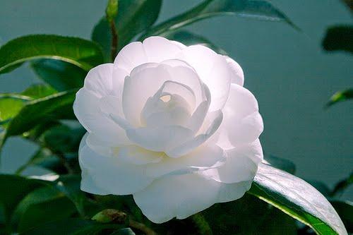 Camélia – Flor símbolo da liberdade e dos abolicionistas brasileiros do séc.XIX