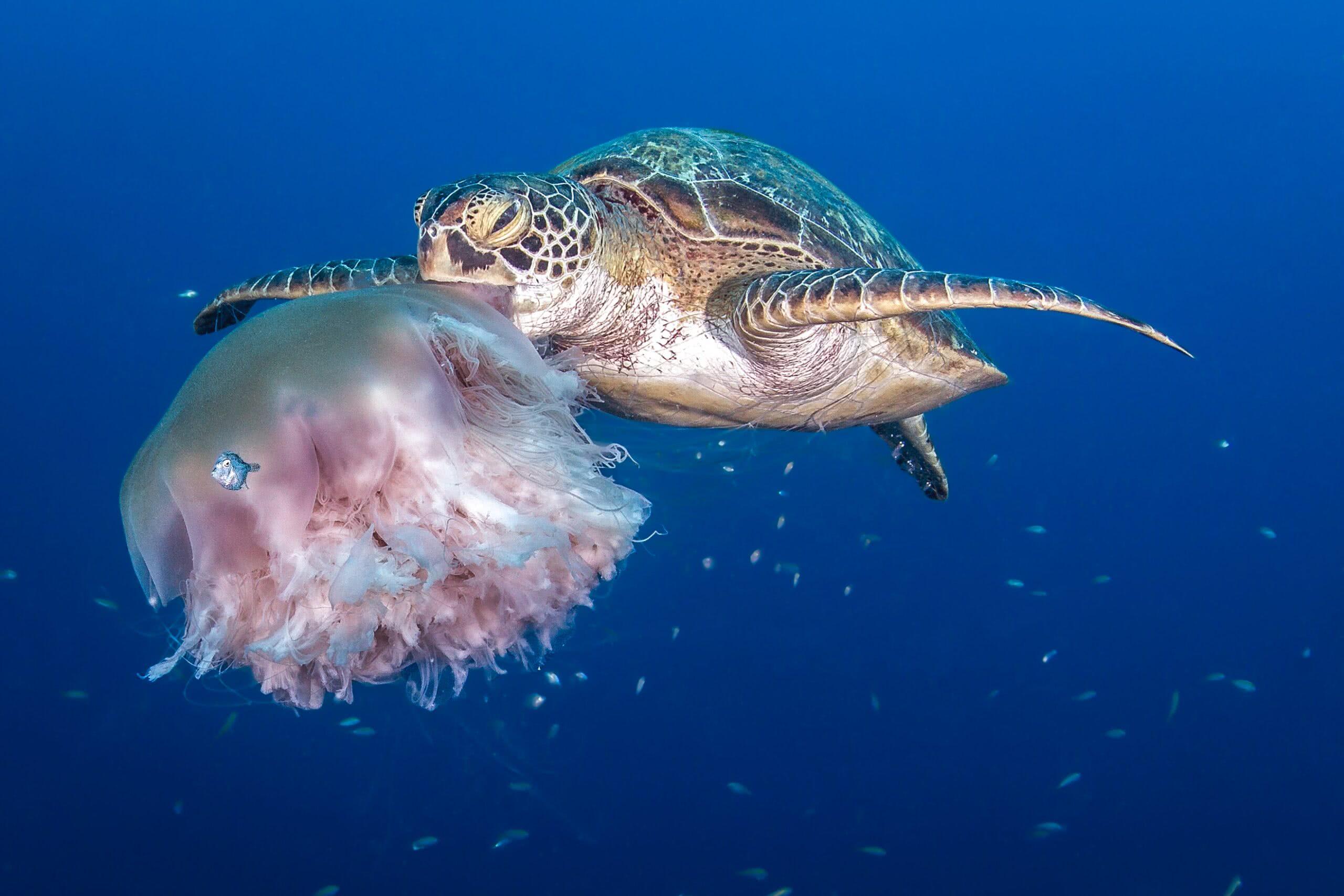 As tartarugas marinhas confundem sacolas plásticas com águas-vivas