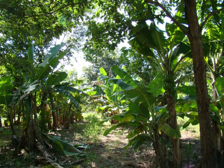 Sistemas agroflorestais biodiversos