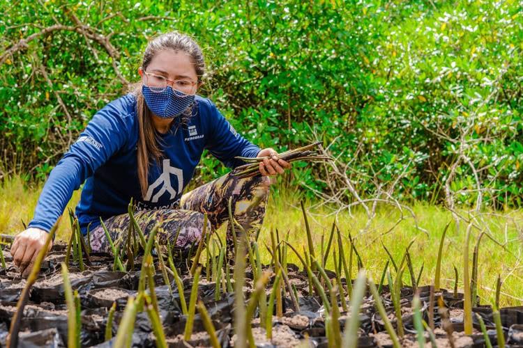 viveiros nos mangues da amazônia 1