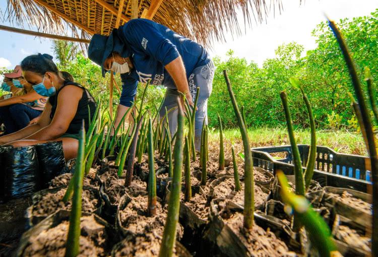 viveiros nos mangues da amazônia 2